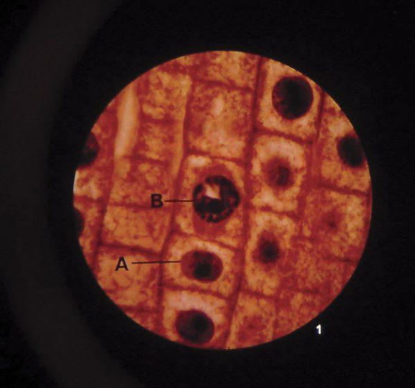 Microslide Plant Mitosis  (Pk10)