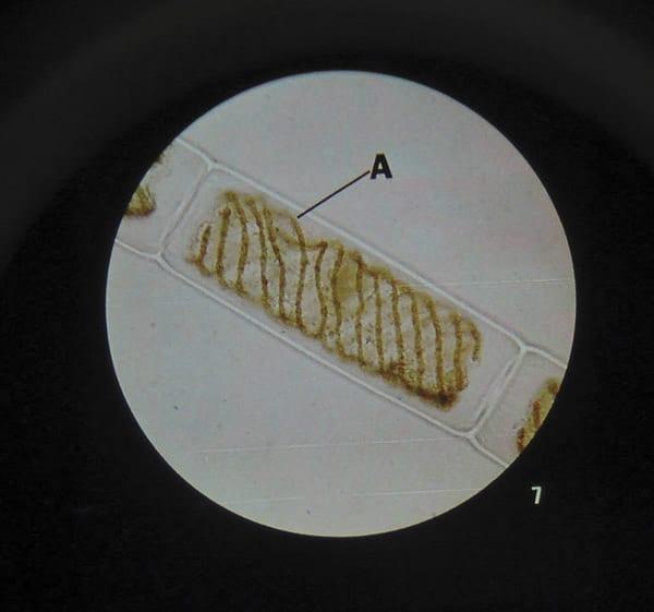 Microslide Cells Of Plants (PK15)